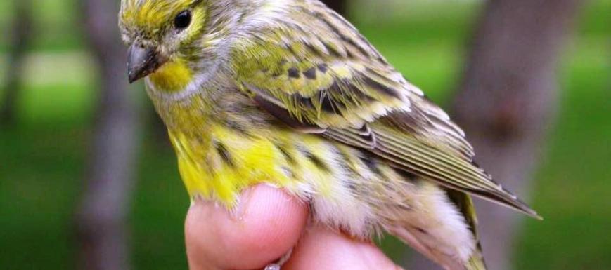 Anillamiento de especies ribereñas el 21 de octubre en Toledo. Fuente: Ecologistas en Acción