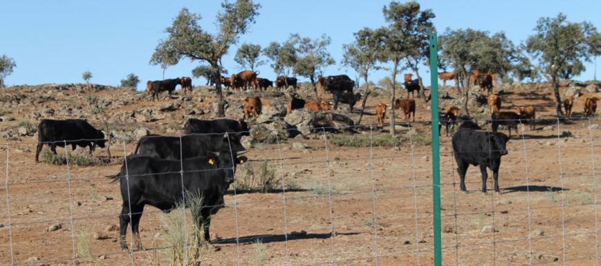 Vendido todo el ganado de la finca El Borril