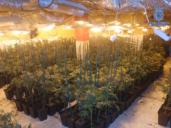 Las 2.618 plantas de marihuana que se criaban en un chalé de Olías del Rey (Toledo)