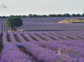 Brihuega se tiñe de morado con la floración de sus campos de lavanda, en fotos